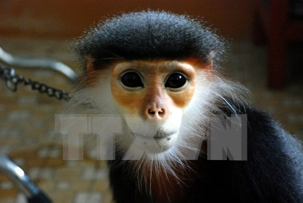 Endangered douc langur handed over to national park hinh anh 1