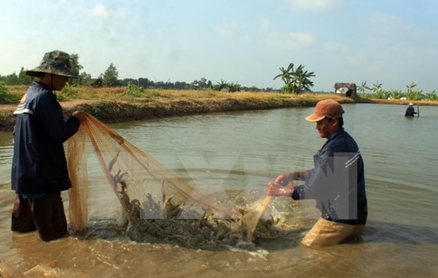 EU supports shrimp value chain development in Vietnam hinh anh 1