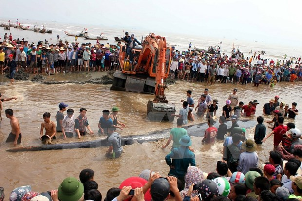 15-tonne whale rescued in Nghe An hinh anh 1