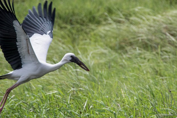 Endangered Asian openbill storks spotted in Lao Cai hinh anh 1
