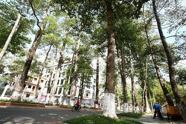 Old trees in Tra Vinh threatened: researchers hinh anh 1