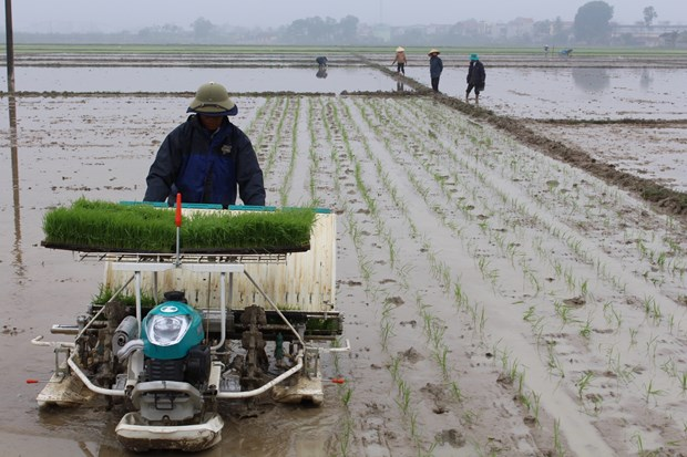 Experts: technology road map urgent for Vietnam's rice hinh anh 1