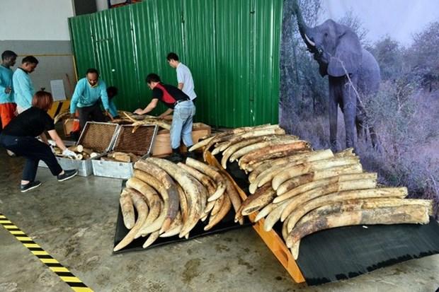 Singapore destroys tusks worth 9 million USD hinh anh 1