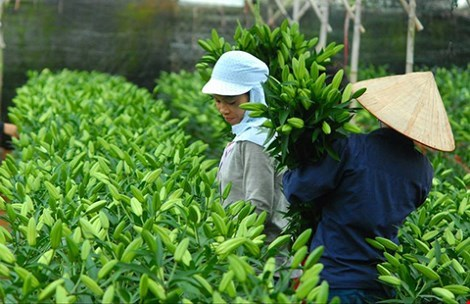 Local flower firms could be top exporters hinh anh 1
