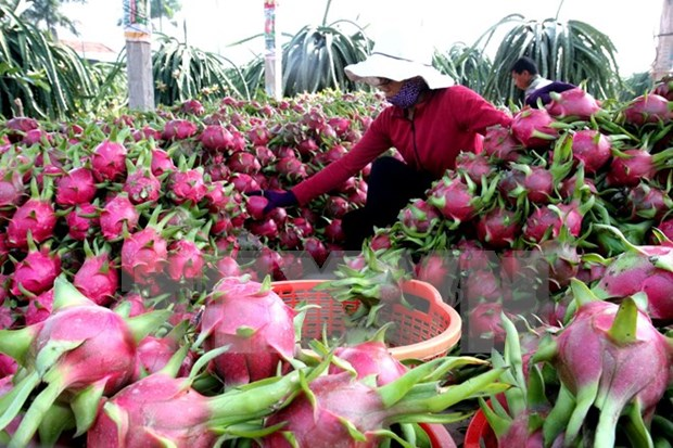 Dragon fruit exports to enjoy robust growth hinh anh 1