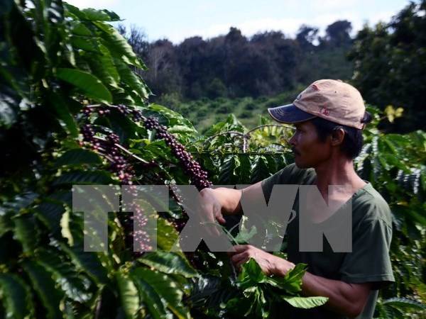 Lam Dong: 3.8 billion VND in support for coffee replanting hinh anh 1