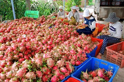 Binh Thuan to strictly handle illegal Chinese dragon fruit traders hinh anh 1