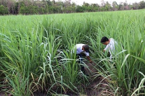 Yields of sugarcane declines in 2015-16 season hinh anh 1