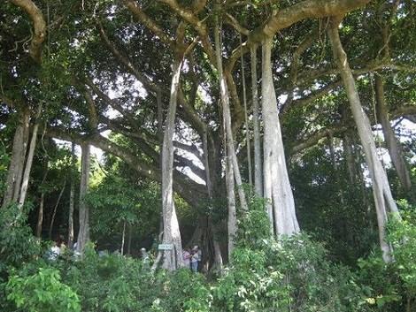 Ancient banyan tree lures visitors to Quang Ngai hinh anh 1
