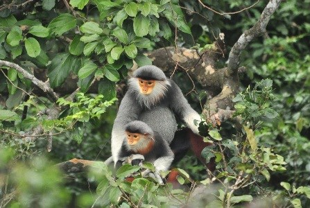 Red-shanked douc langur chosen as Da Nang's mascot hinh anh 1