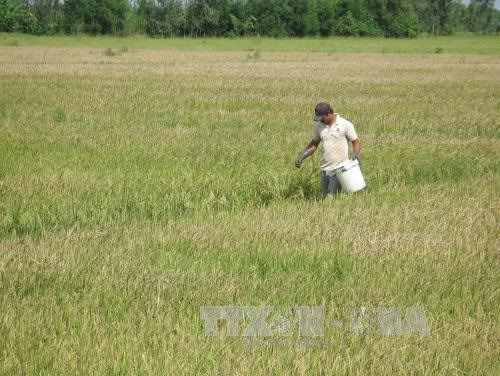 Mekong Delta rice yields fall on diseases hinh anh 1