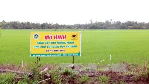 Mekong Delta adopts smart rice cultivation model hinh anh 1