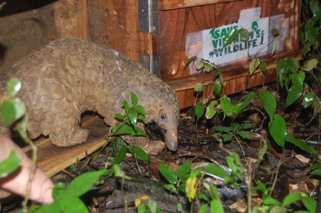 Over 40 Javan pangolins released into the wild hinh anh 1
