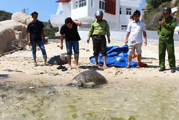 Ninh Thuan: Over 900 young turtles released to sea hinh anh 1