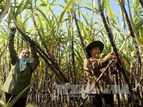Sugar production to reach 1.56 million tonnes hinh anh 1