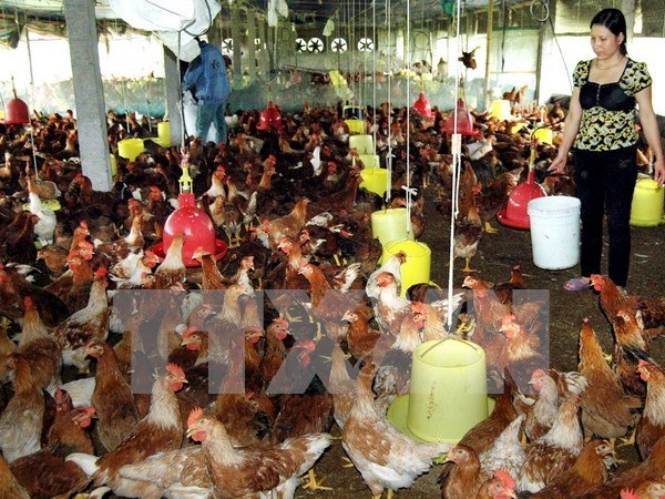 Livestock sector urged to enhance competitiveness hinh anh 1