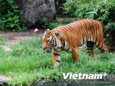 Only 20 Indochinese left in Vietnam hinh anh 1
