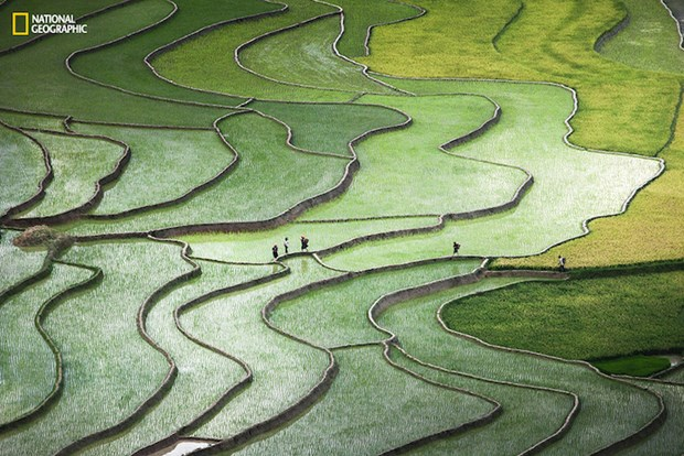 Terrace rice paddy photo among the best in Nat Geo contest hinh anh 1