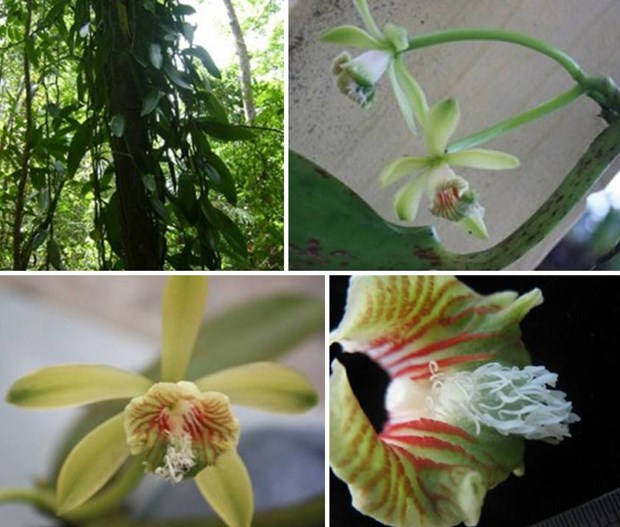 New flora species discovered in Khanh Hoa natural reserve hinh anh 1