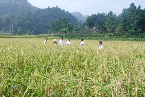 Bac Kan announces its sticky rice trademark hinh anh 1