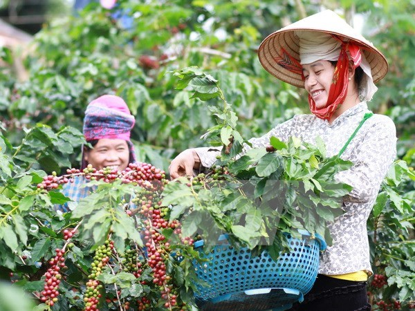 Coffee output likely to fall by 20 percent hinh anh 1