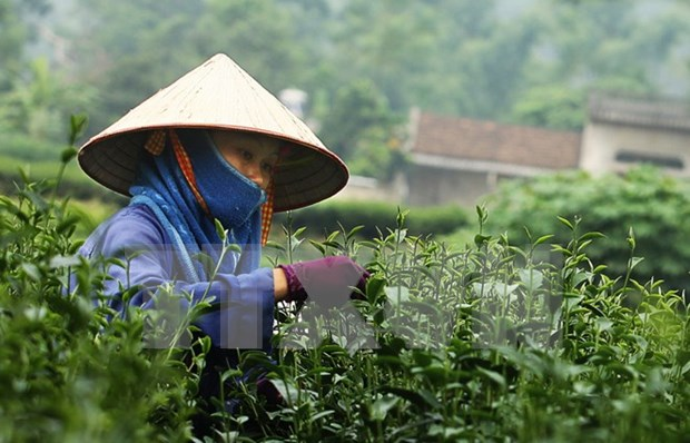 Tea festival attracts international participants hinh anh 1