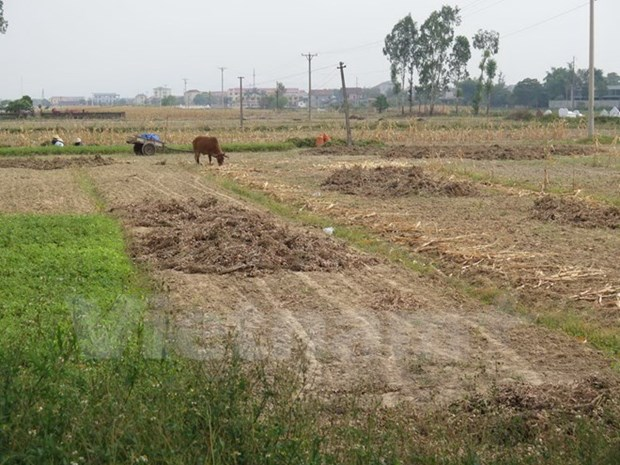 Drought forces crop switch in central Vietnam hinh anh 1