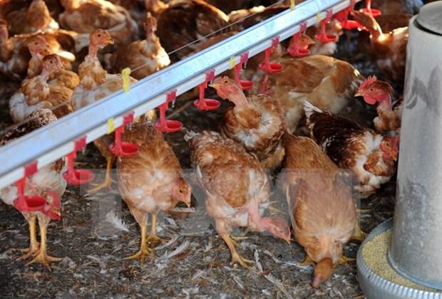 Vietnam vigilant over A/H7N9 avian influenza hinh anh 1
