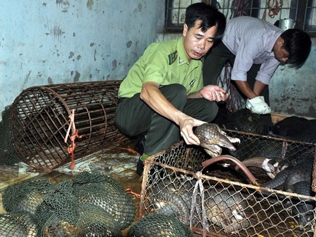 Hung Yen discovers smuggling case of pangolins hinh anh 1