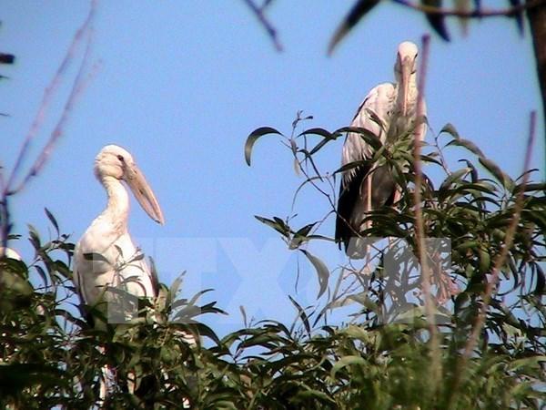 Endangered openbill storks migrate to Dien Bien hinh anh 1