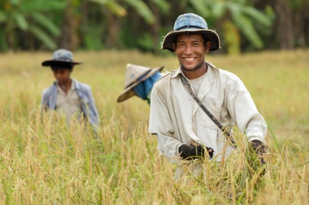 Thailand: rice cultivation zones to be narrowed hinh anh 1