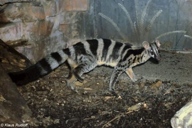 Rare civet finds home in Cuc Phuong national park hinh anh 1
