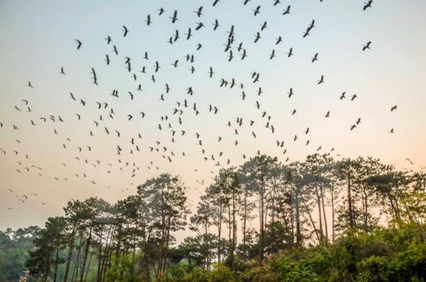 Dien Bien intensifies protection of migrant openbill storks hinh anh 1