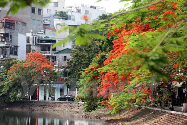 Hanoi to grow flamboyant trees hinh anh 1