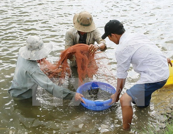 Shrimp export forecast lowered by 300 million USD hinh anh 1