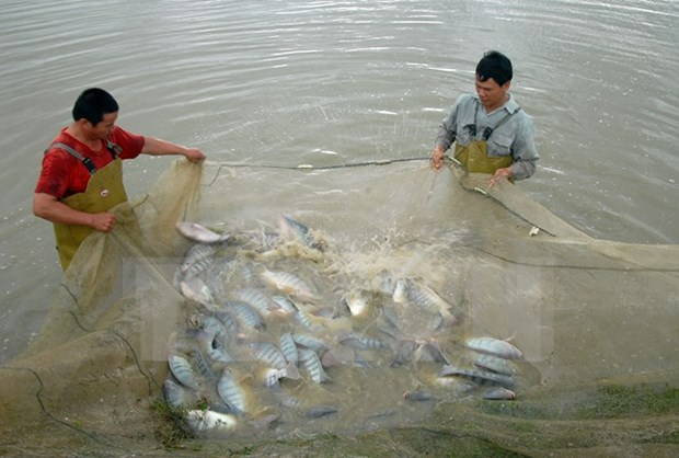 Tilapia exports set to shoot up in years ahead: VASEP hinh anh 1