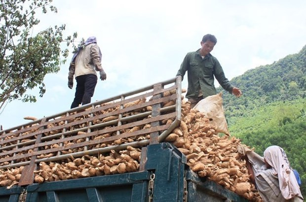 Cassava exports fall with China demand hinh anh 1