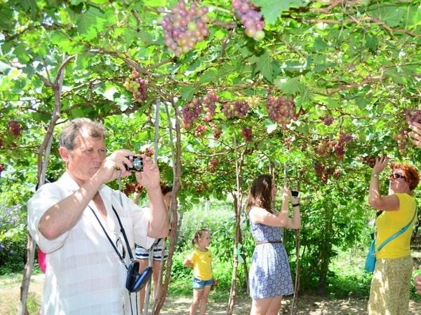 Ninh Thuan Province to grow more grapes hinh anh 1