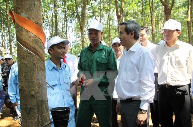 Rubber cultivation critical to development in northwest hinh anh 1