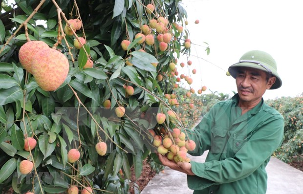 Lychee export to Japan paves way for other Vietnamese fruits hinh anh 1