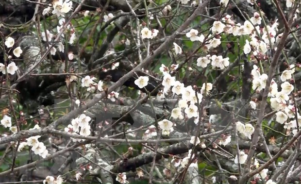 Being lost in fairyland of apricot blossoms in Moc Chau plateau hinh anh 1