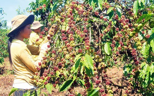 Dak Lak to replace fields of aging coffee trees hinh anh 1