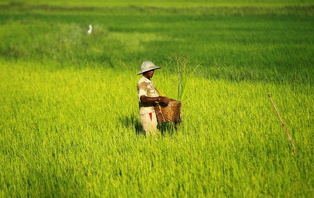 Myanmar: Rice export drops in first half of fiscal 2015 hinh anh 1