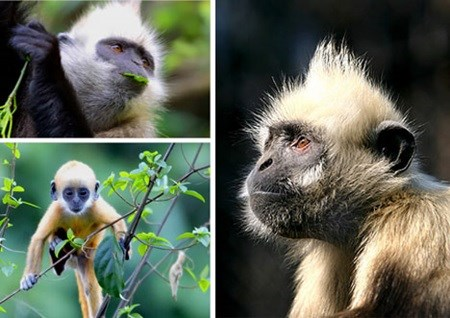 Several primate species teeter toward extinction hinh anh 1