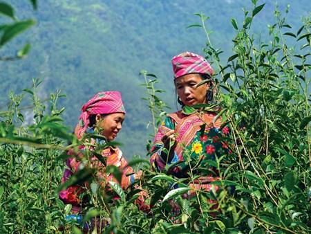 Ha Giang eyes tea sustainable development hinh anh 1