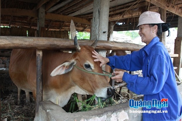 Breeding cows to needy households in Quang Ngai hinh anh 1