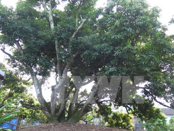 Oldest lychee tree recognised in Hai Duong hinh anh 1