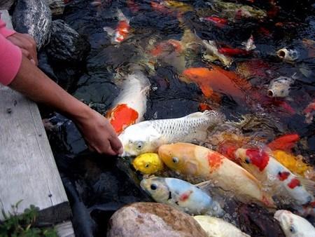 HCM City fish farmers raking in koi profits hinh anh 1