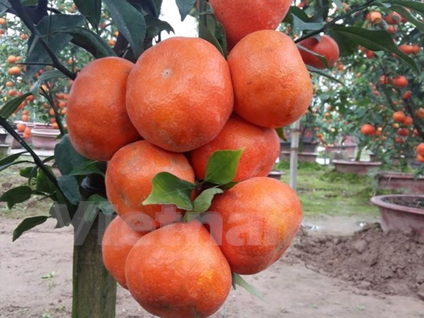 Canh oranges a hit in Hanoi hinh anh 1