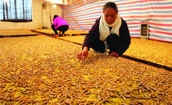 Silkworms 'trained' to weave blankets hinh anh 1